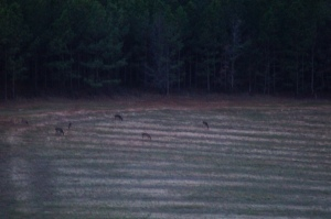 Deer coming out to feed